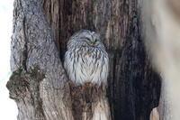 シマエナガに会ったが、またまた・・・・ - 今日の鳥さんⅡ