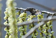 キブシに集まる春のチョウ - 旅のかほり