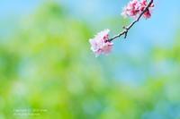 杏の花 - カメラをもってふらふらと