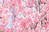 桜 陽光と染井吉野 | 準備万端 - 今日の小さなシアワセ