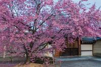 長徳寺のおかめ桜 - 鏡花水月