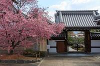 京のさくら2017 出町柳 長徳寺のオカメ桜 - ぴんぼけふぉとぶろぐ2