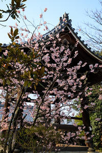 京都の桜2017 知恩寺のふじ桜 - 花景色-K.W.C. PhotoBlog