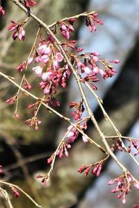 咲き出した枝垂桜。バイモ、キブシも・・ - ぶらり散歩 ~四季折々フォト日記~