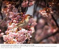 鴻巣市 2017.3.20(2) - 鳥撮り遊び