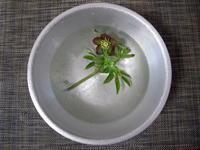 洗面器のクリスマスローズ - リリ子の一坪ガーデン