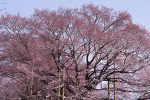 まだ早かった薄墨桜・・・ - ぶらりカメラウォッチ・・