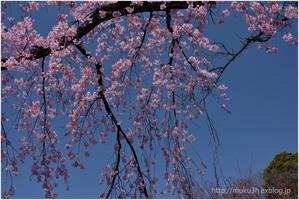 青空に咲く枝垂れ桜 - muku3のフォトスケッチ