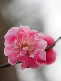 梅はようやく咲いたが・・・ - 耳鼻科医の診療日記