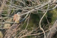 チョウゲンボウ - あだっちゃんの花鳥風月