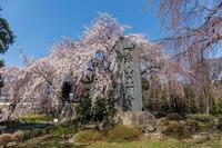 府中・東郷寺の枝垂桜 - あだっちゃんの花鳥風月