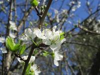 果樹の花咲く - フランス Bons vivants idees d'aujourd'hui