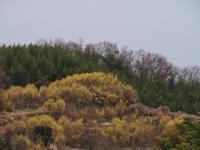 桜井・山田 山茱萸の里 - まほろば 写真俳句