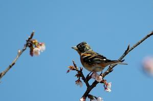 桜の花と梅の花にアトリ - T/Hの野鳥写真-Ⅱ