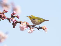 サクラとメジロ - コーヒー党の野鳥と自然 パート2