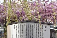 一条戻橋の河津桜(^-^) 京都 - Field to support your life ノハラ通信