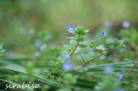 瑠璃色の星たち - 小さな森の写真館 (a small forest story)
