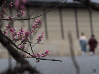 京都御苑 桃の花 - きさじろぐ