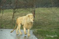 ホワイトライオン。 - Zooっと行こう♪