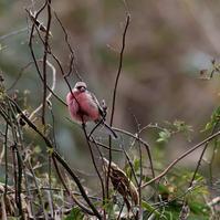ベニマシコ、旅立ち前か?・・・ - 一期一会の野鳥たち
