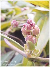 Armandii en el fin del mes marzo - Garden Diary