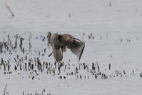 ホウロクシギ ③ 飛翔 - 私の鳥撮り散歩