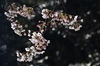 桜@走水水源地 - 素顔のままで