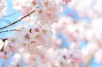 桜 高遠小彼岸と江戸彼岸 - 今日の小さなシアワセ
