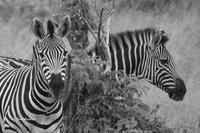 ゲームドライブ(南アフリカの旅2) - My  Photo  Life