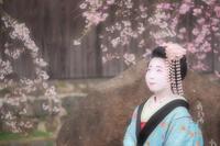 去年の祇園白川、桜と芸舞妓撮影会 - rambling about...