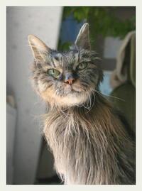 ご長寿猫 はんぞう との暮らし 「3月11日~3月15日の はんぞう」 - たびねこ