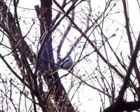 ヤマガラ・エナガ、黒川清流公園 - 西多摩探鳥散歩
