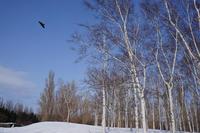 白樺並木 (前田森林公園) - お茶にしませんか