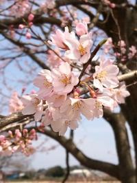 薄墨桜 - 操の気まぐれ日記