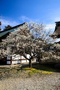 梅の花香る(梅宮大社) - 花景色-K.W.C. PhotoBlog