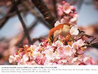 鴻巣市 2017.3.20(3) - 鳥撮り遊び