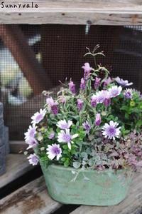 フレンチラベンダーでふわふわ寄せ植え - さにべるスタッフblog     -Sunny Day's Garden-