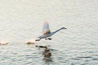 白鳥の 飛翔写真 - サカナのおカオ