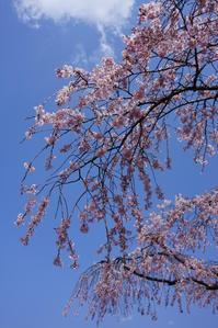 お寺さんの枝垂れ桜、満開!リベンジできました♪ 2 - Let's Enjoy Everyday!