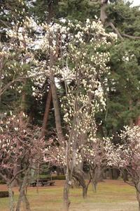 白もくれん@敷島公園 (撮影日:2017/3/28) - toshiさんの気まぐれフォトブログ