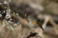 ユキヤナギとルリビタキ - T/Hの野鳥写真-Ⅱ