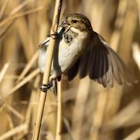 """オオジュリン(大寿林)/Reed bunting - 「生き物たちに乾杯」 第3巻 """"A Toast to Wildlife!"""" vol. 3"""