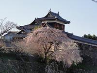桜の開花 - 玉響記 2
