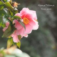 *椿* - HANA*HANA