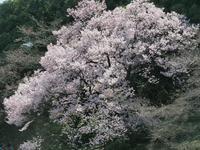 新宿御苑の桜 タカトオコヒガン - 光の音色を聞きながら Ⅱ