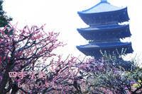 四季京艶 春 --Kyoto Four Seasons-- a spring scenery - 四季京艶
