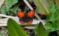 春らしく - 紀州里山の蝶たち