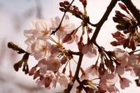 咲き始めの染井吉野 - 想い出