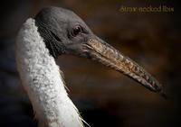 ムギワラトキ:Straw-necked Ibis - 動物園の住人たち写真展