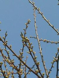 スモモの新芽 - うちの庭の備忘録 green's garden